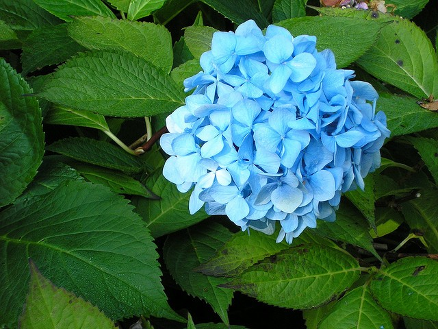 THE SECRET TO DRYING HYDRANGEA FLOWERS AND KEEPING THEIR COLOR