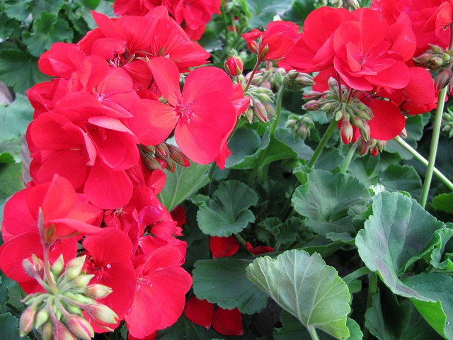 YOUR GERANIUMS CAN LAST FOR YEARS