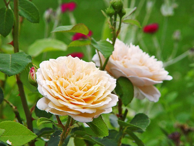 DON'T NEGLECT FALL CARE OF ROSES