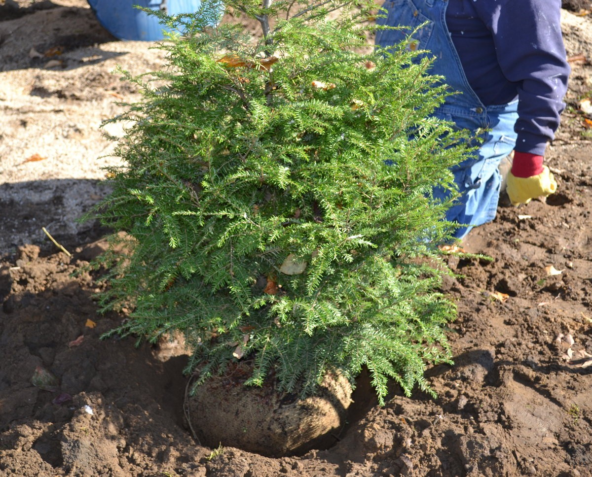 CARE TIPS FOR A ROOTED CHRISTMAS TREE