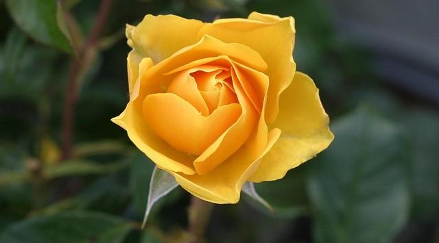 Top 8 Flowers That Look Like Roses Gardenpicsandtipscom