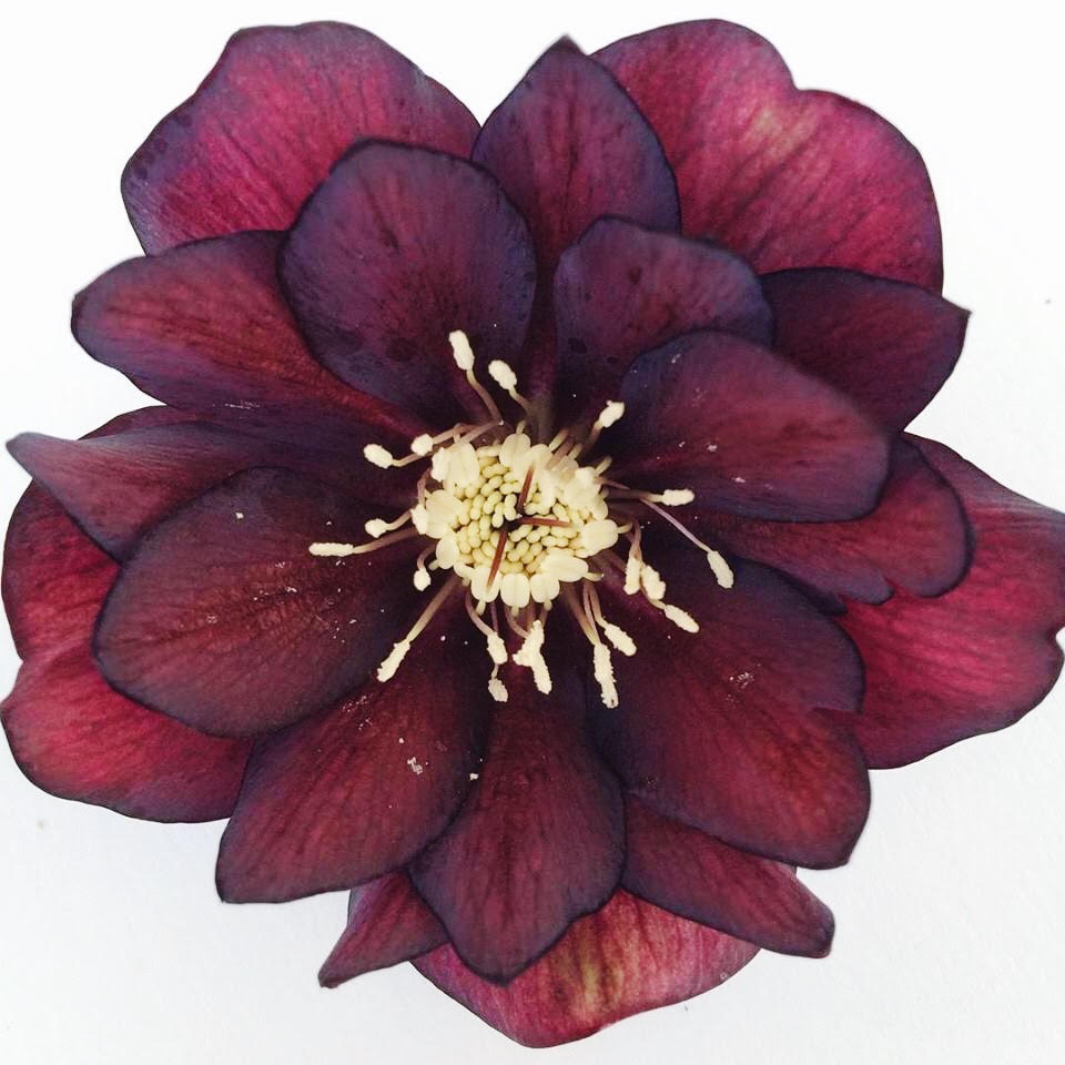 double dark hellebore by Alicia schwede via www.pithandvigor.com