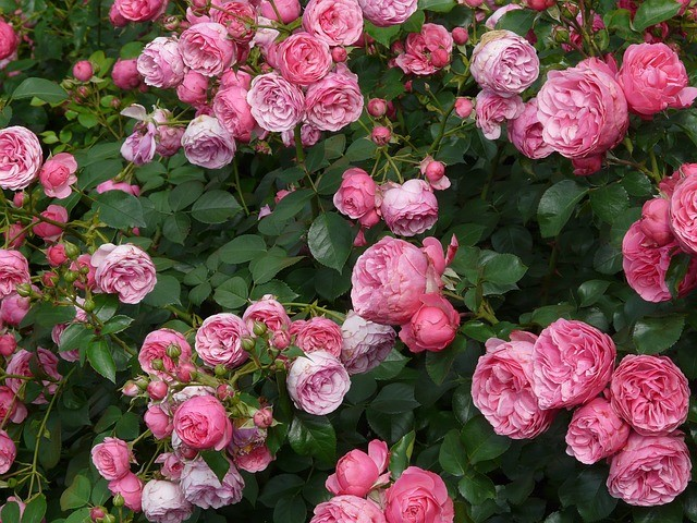 GUIDE TO GROWING SCENTED FLOWERS FOR CUTTING