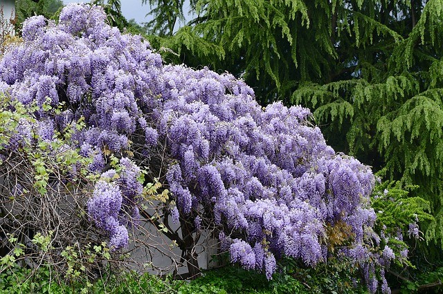 Enjoy These Spring Flowering Bushes And Shrubs Gardenpicsandtips