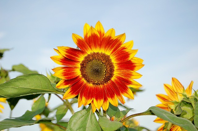 Top Tips for Growing Superb Sunflowers