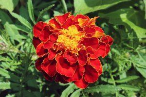French marigold