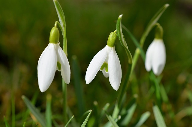 Look Up to See the Snowdrops