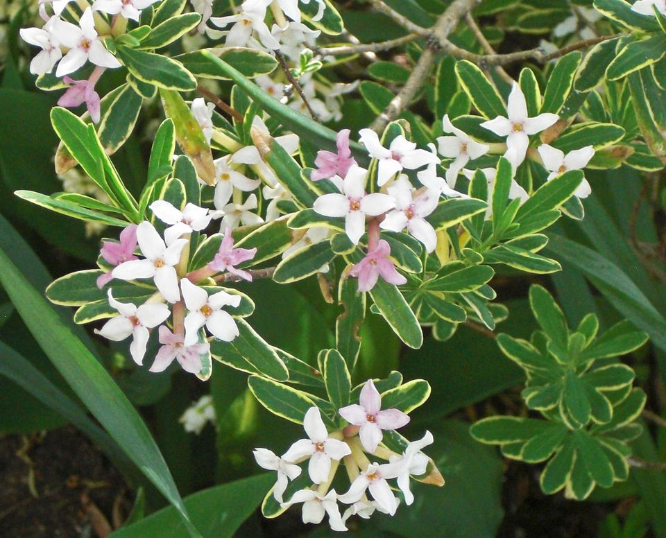 Top 12 Evergreen Shrubs That Are Deer-Resistant