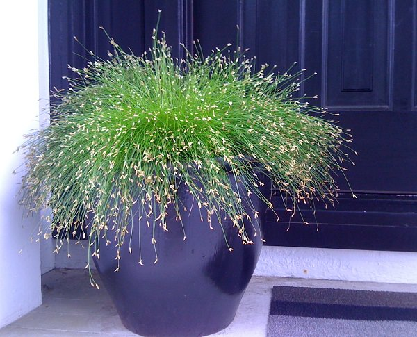 Growing Ornamental Grasses in Containers