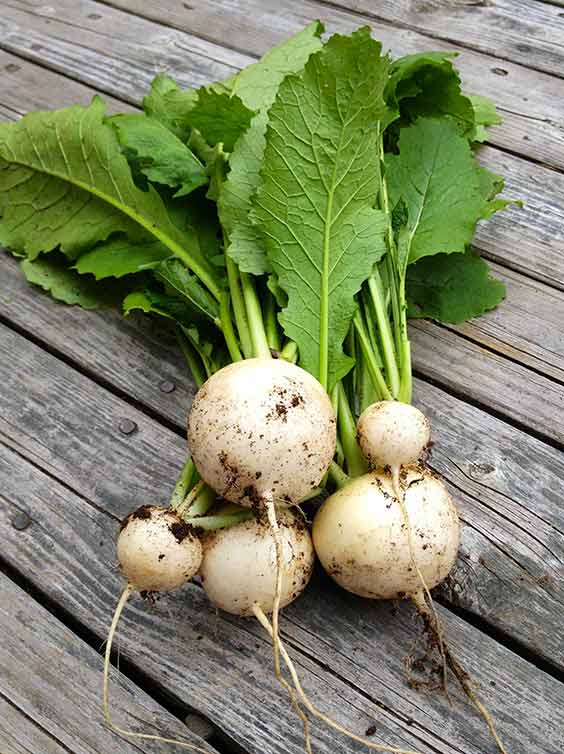 A bundle of Hakurei turnips
