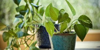Pothos is The New Natural Air Cleaner For the Home