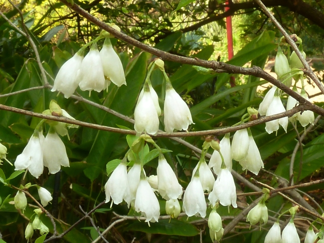 Halesia carolina the snowdrop tree
