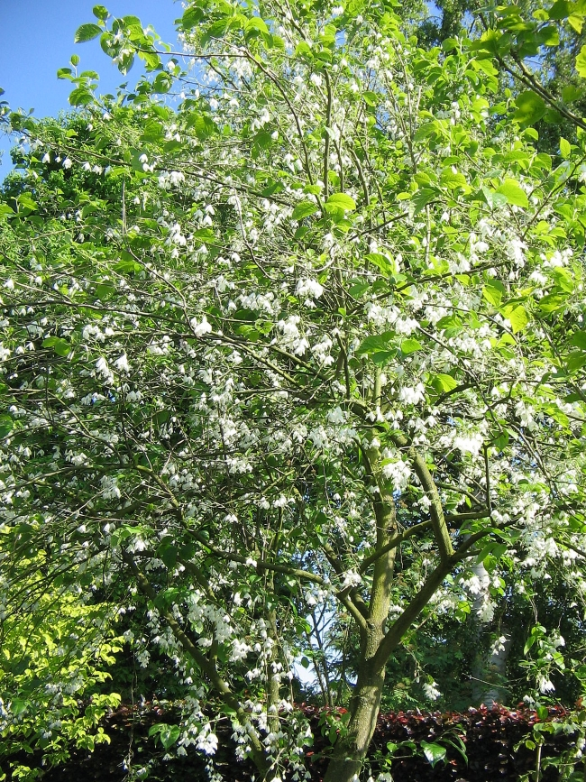 Halesia carolia the tree in bloom