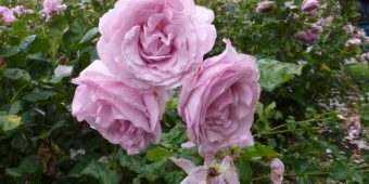 How to Care for Roses to Ensure Perfect Blooms