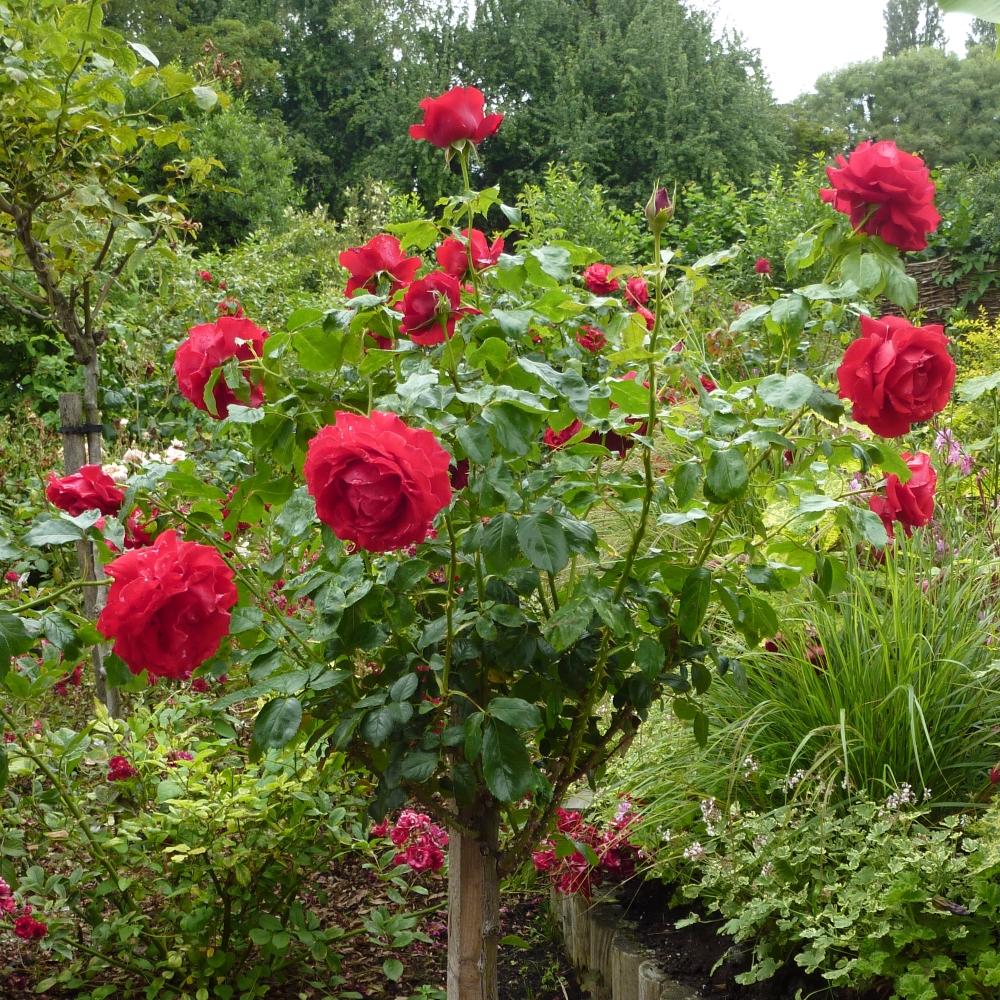 Red standard rose